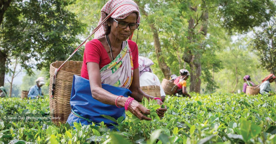 Lady picking tea in Assam
