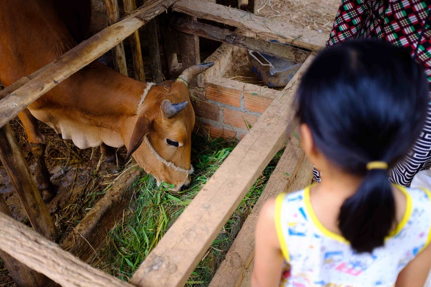 8-year-old strabismus patient Phuong from Vietnam feeding her family's cow